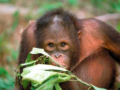 Orang-Utan:The Wild Man of Borneo""