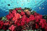 Taveuni Coral
